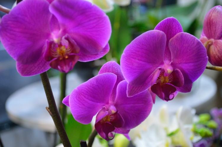 Orchidée de la Maison des Orchidées - Paris